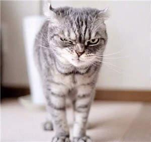抖音上特别拽的猫表情包