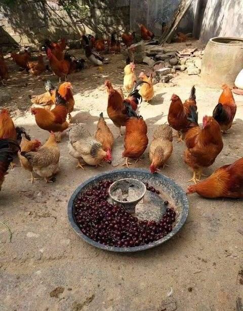 抖音炫富图片:车厘子喂鸡图