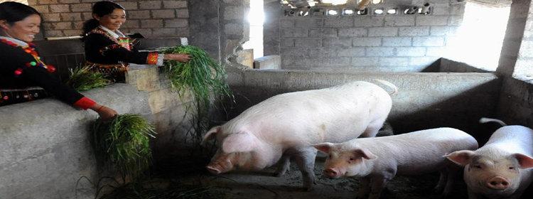 教养猪的app大全